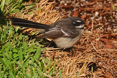 Grey Fantail (Rodger1943) Tags: fantails greyfantail australianbirds sonyrx10m4