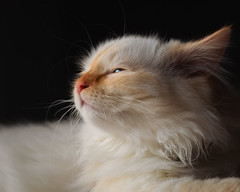 Sweet innocence (FocusPocus Photography) Tags: dragon katze cat chat gato tier animal haustier pet müde schläftig tired sleepy
