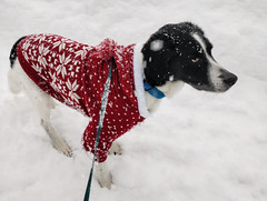 Oscar's first real snow [Explored] (Christine Schmitt) Tags: 52in2019 red jumper snow dog explore explored