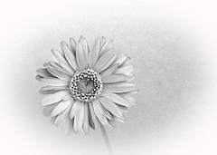 Daisy Remembered (kinglear55) Tags: flower film blackandwhite olympus om2n art photography highkey adobe elements