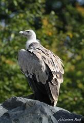 Vautour fauve (Passion Animaux & Photos) Tags: vautour fauve griffon vulture parc animalier saintecroix