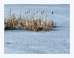cattails on ice (overthemoon) Tags: switzerland suisse schweiz svizzera romandie vaud lausanne sauvabelin lake lac gelé frozen reeds bulrushes cattails winter cold freezing icy ice glace frame utata:project=cold