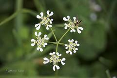 ...geometrie della natura... (Vittorio Raho) Tags: beautiful natura naturephotography photography canonphotography canon green flower fauna