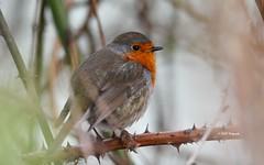 """""""Le rouge-gorge"""" (leguen.maxime) Tags: rougegorge oiseau jardin loire loiret eau fleuve rivière nature ronce buisson hiver février 2019"""