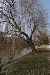 20190209_010 Salice d'inverno - A winter tree (southernman61) Tags: d750 mira brenta naviglio veneto italy