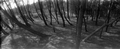 Split (selyfriday) Tags: selyfriday wwwnassiocomempty nassiocom horizon202 horizon 202 swing lens panorama wide film caffenol deltastd 25 ˙c 9minutes fuji400 400iso analogue nederland netherlands holland dutch schoorl duin dunes trees f orest split