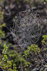 Baquiano Trail. Pacifica, CA. (j1985w) Tags: pacifica california sweenyridge rain droplet spiderweb