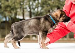 2019-03-02, Mel x Dezi Dark Blue Male-4 (Falon167) Tags: gsd germanshepherddog german shepherd dog puppy mel dezi melxdezi litter bessie puppies