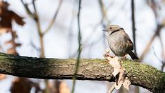 Dunnock / Hedge sparrow / Accenteur Mouchet (julienmartlet) Tags: dunnock hedge sparrow accenteur mouchet bird oiseau paris