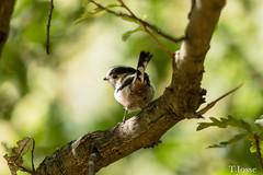 20180908_Vincennes_Mésange à longue queue (thadeus72) Tags: aegithalidae aegithalidés aegithaloscaudatus aves birds longtailedtit mésangeàlonguequeue oiseaux passériformes