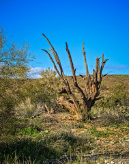 Old Ironwood Tree (http://fineartamerica.com/profiles/robert-bales.ht) Tags: arizona forupload haybales olddead people photo places plants projects states tree welton