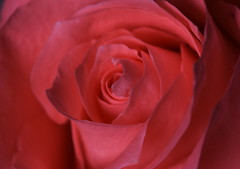 DSC_2774 (PeaTJay) Tags: nikond750 sigma reading lowerearley berkshire macro micro closeups gardens indoors nature flora fauna plants flowers rose roses rosebuds