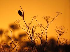 Allen's Hummingbird on Sweet Fennel at the golden hour (stonebird) Tags: allenshummingbird selasphorussasin ballonawetlandsecologicalreserve areaa march img1938