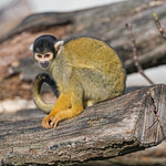 Squirrel monkey on the log thumbnail