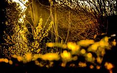 19-03-22 sonauf blüt gelb backlit _dsc1384 (ulrich kracke (many thanks for more than 1 Mill vi) Tags: backlight bokeh c6 garten nah sonnenaufgang struktur