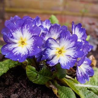 Purple Primrose-F3250201