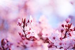 Poésie printanière 🌺 (Un instant.) Tags: helios flowers bokeh trees spring