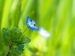 ivy-leaved speedwell (de_frakke) Tags: ereprijs veronica garden springtime small klein vroegbloeier weed onkruid