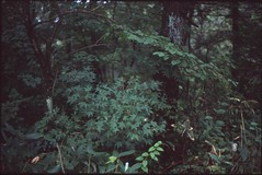 (✞bens▲n) Tags: leica m4 kodak e100g summilux 50mm f14 film positive reversal trees nature woods