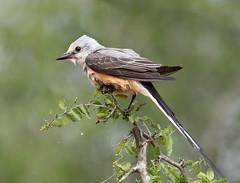 Scissor-Tailed Flycatcher (Elizabeth Wildlife) Tags: scissortailed flycatcher tx texas