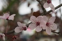 kerspruim (wjrpics) Tags: bloemen roze voorjaar bloesem