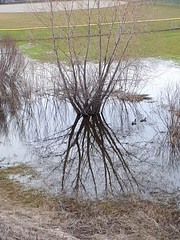 Puddle (Suzanne Guest) Tags: bridgeport kitchener ontario birds water tree reflection flood floodcontrol grass grandriver overflow mallards