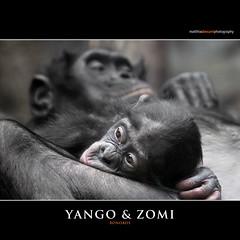YANGO & ZOMI (Matthias Besant) Tags: affe affen affenfell animal animals ape apes pygmychimpanzee fell zwergschimpanse hominidae hominoidea mammal mammals menschenaffen menschenartig menschenartige monkey monkeys primat primaten saeugetier saeugetiere tier tiere trockennasenaffe bonobo schauen blick blicken augen eyes look looking yango zomi mutter mother kuscheln gemütlich geborgenheit baby bonobobaby child kind zoo zoofrankfurt matthiasbesant hessen deutschland