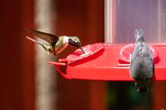 Hummingbird (jo_wildlife) Tags: costarica hummingbirdcafé monteverdecloudforest hummingbird animal bird