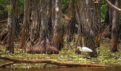 wetlands (egret) (Fat Burns ☮) Tags: landscape swamp paperbarkforest melaleucaquinquenervia wetlands sandycamproadwetlands wynnum brisbane queensland australia melaleuca paperbarktrees nikond500 sigma150600mmf563dgoshsmsports waterbird