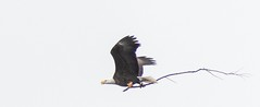 (rickhanger) Tags: eagle baldeagle bird raptor nature summitcountymetroparks nimisila