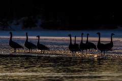 Canada Geese Silhouette.. (Estrada77) Tags: canadagoose geese goldenlight silhouette birds birding nature animals kanecounty foxriver illinois wildlife winter2019 feb2019 outdoors water nikon nikond500200500mm