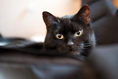 Lilli (rengawfalo) Tags: lilli katze cat animal pet haustier kitten auge eyes