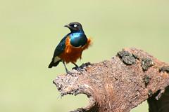 Superb starling (Ralph Apeldoorn) Tags: bird kenya lakenakuru lakenakurunationalpark nationalpark superbstarling ke kenia bondelaufa nakuru