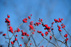 red on blue (christiaan_25) Tags: winterberry ilexverticillata hollyfamily berries red round full plant wild nature native winter stems branches sky blue