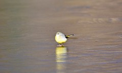 Ice to see you! (pstone646) Tags: greywagtail bird animal nature wildlife yellow ice frozen reflection fauna cold