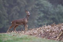 Young Roe deer (sinky 911) Tags: roedeer britishmammals deer nature wildandfree