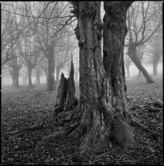 Fimbrethil (steve-jack) Tags: hasselblad 501cm 50mm cfi kodak trix 400 film 120 6x6 medium format tree woodland wood mist perceptol epson v500