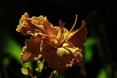 Hemerocallis (prokhorov.victor) Tags: цветок цветы растения флора сад природа лето