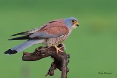 _09A4238   Cernicalo primilla  ( macho ) .Falco naumanni