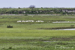 Whooping Cranes (Scott Sanford Photography) Tags: 80d canon ef14xiii ef100400mmf4556lii eos landscape naturalbeauty naturallight nature outdoor springbreak texas topazlabs wildlife birds