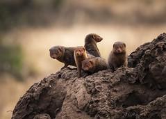Dwarf Mongoose Colony (momathew) Tags: dwarfmongoose africassmallestcarnivorousmammal africa carnivore termitemound amboseli selenkay safari wildlifeafrica
