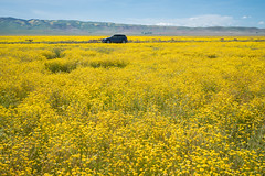 Two More Weeks To Super Bloom (tourtrophy) Tags: carrizoplainnationalmonument superbloom flowers sonya7rii sonyvariotessartfe1635mmf4osszeiss
