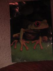 Photo of frog (d.kevan) Tags: photo frog tropical treefrog myflat animal