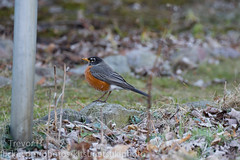 Robin 2019 1 (Kenjis9965) Tags: sony a7 ilce7m3 sigma 150600mm f563 os c contemporary 150600mmf563dgoshsm|c nature birds briding outside robin northeast spring