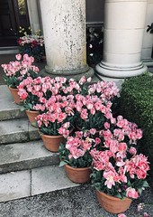 #Filoli is a #countryhouse set on 16 acres of formal #gardens surrounded by a 654-acre estate, located in #Woodside, #California, about 25 miles south of San Francisco. (Σταύρος) Tags: whitetulips filolihouse pottedplants marblesteps frontsteps pottedtulips tulips pinktulips countryestate filoli countryhouse gardens woodside california 16acres mansion oldmoney filolimansion fight love live kalifornien californië kalifornia καλιφόρνια カリフォルニア州 캘리포니아 주 cali californie northerncalifornia カリフォルニア 加州 калифорния แคลิฟอร์เนีย norcal كاليفورنيا bourn roth willispolk