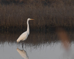 613A5841 (DavidMC92) Tags: canon eos 7d mark ii ef100400mm l delaware assawoman wildlife management area great egret