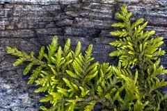 Mossy Log (version III), 2019.04.05 (Aaron Glenn Campbell) Tags: flora moss lichen closeup detail macro outdoors nature log nikcollection viveza colorefexpro sony a6000 ilce6000 mirrorless nikon micronikkorauto55mmf35 primelens manualfocus filmera vintagelens