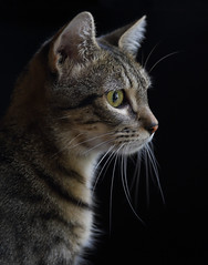 Happy Caturday (AnyMotion) Tags: nelli pet cat cats katze katzen animals tiere portrait porträt onblack 2016 anymotion tabby getigert atigrada félin chat gata 6d canoneos6d