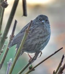 Dunnock (paulfarrington46) Tags: dunnock ywt gardenbirdwatch