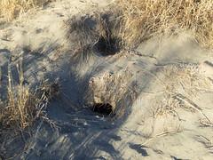 Wedge-tailed Shearwater nesting burrows (Baractus) Tags: wedgetailed shearwater nesting burrows lanai hawaii usa john oates uncruise